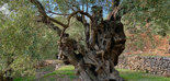El milenario Olivo de Can Det, Premio AEMO al Mejor Olivo Monumental de España 2020