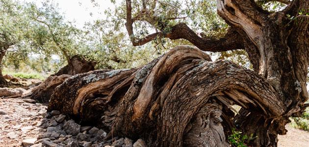 AEMO convoca sus premios a la cultura del olivo y al mejor olivo monumental