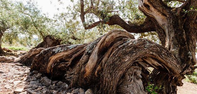 AEMO prorroga el plazo de sus premios a la cultura del olivo y mejor olivo monumental
