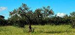 La capacidad del olivo para absorber las emisiones de CO2