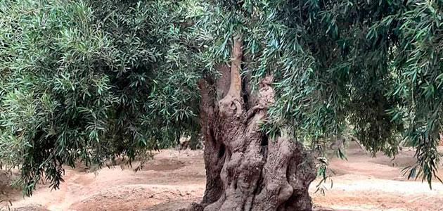 Un olivo de Perú, reconocido como Olivo Patrimonial de América del Sur