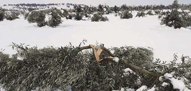 El olivar, entre los cultivos más dañados por el temporal de nieve