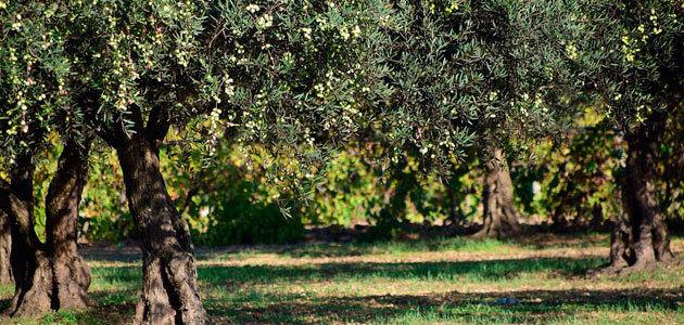El reglamento transitorio de la PAC recoge nuevos instrumentos para la mejora del mercado del aceite de oliva