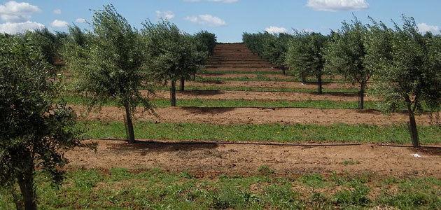 La producción de aceituna en Portugal desciende un 25% esta campaña
