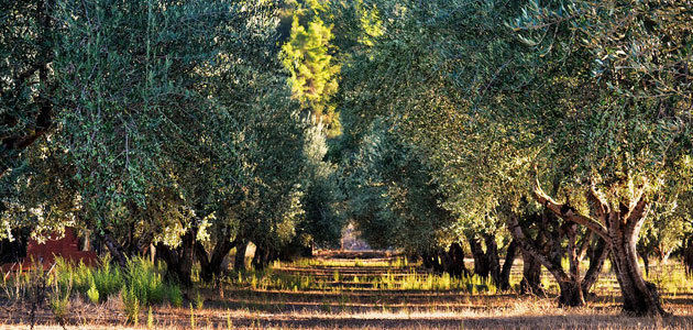 La cosecha récord de aceite de oliva de 2018/19 se sitúa un 50% por encima de la media de las últimas cuatro campañas