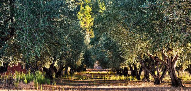 COAG-Jaén asegura que los datos de enero confirman que la producción de aceite de oliva va a ser menor de lo esperado