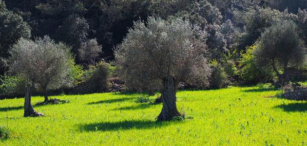 Sustainolive, un proyecto internacional para la mejora de la sostenibilidad del olivar