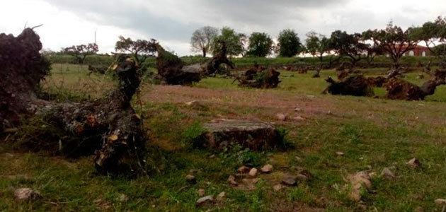 Ecologistas en Acción de Extremadura pide una normativa que proteja los olivos centenarios