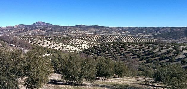 La superficie de olivar en España ha aumentado un 2,6% desde 2012