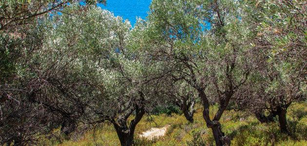 La producción griega de aceite de oliva superará las 280.000 t. en la campaña 2019/20