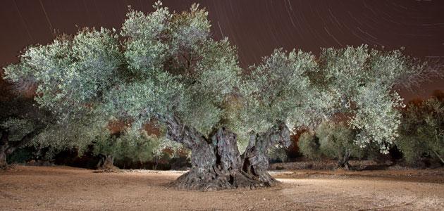 El Olivo de Sinfo, elegido Mejor Olivo Monumental del Mediterráneo