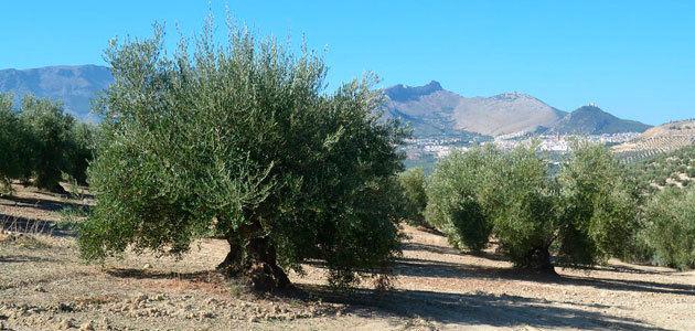 Las OPAs esperan que el anuncio del descenso de la producción de aceite de oliva tenga una repercusión positiva en los precios
