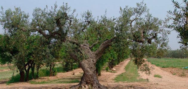 Identifican 13 nuevas variedades locales de olivo en Lleida