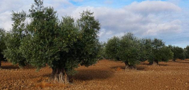 Asaja cifra en 3 millones de euros las pérdidas en el olivar madrileño por la sequía