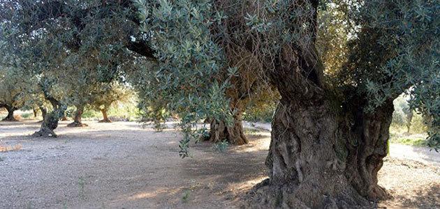 Reclaman un presupuesto mínimo en la Ley de Protección de Olivos Monumentales de Cataluña