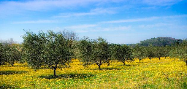 GEA prevé que España produzca más del 49% del aceite de oliva mundial en la campaña 2020/21