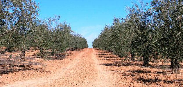 COAG asegura que los daños producidos por el granizo en la Sierra Sur sevillana dejan sin cosecha a los olivareros de Pedrera