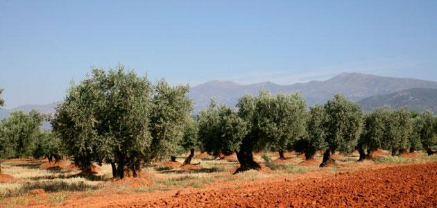 El aceite de oliva del Somontano se promociona durante el mes de febrero