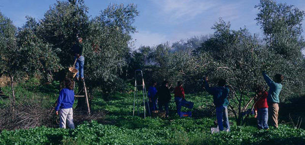 El laboreo mínimo es la técnica de mantenimiento del suelo más utilizada en olivar