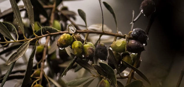 Estudiarán una enfermedad emergente en los olivos de la Región del Véneto