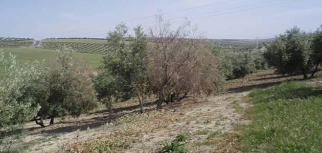 Susceptibilidad de las variedades del olivo a las principales enfermedades
