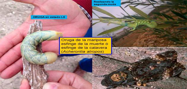 Andalucía informa de la presencia de polilla calavera o mariposa de la muerte en plantones de olivar
