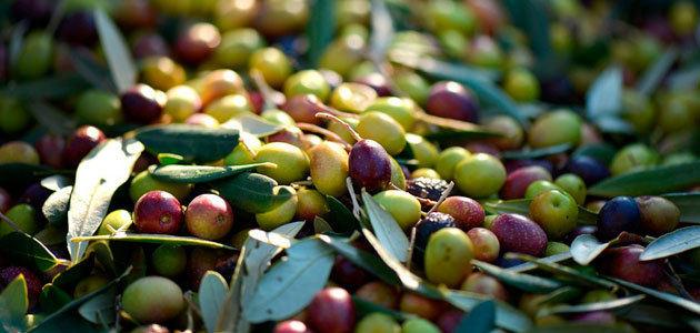 Acuerdo para la nueva PAC: ayudas acopladas a la aceituna de mesa y programa sectorial para el olivar