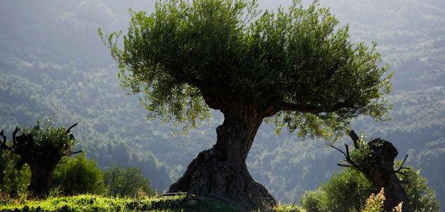 El Congreso insta al Gobierno a plantear que el Paisaje del Olivar de Andalucía sea declarado Patrimonio de la Humanidad