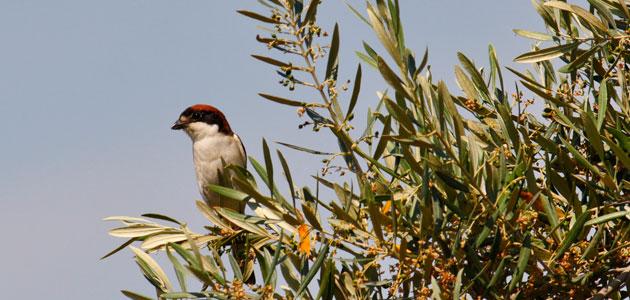 El olivar, un oasis para la biodiversidad