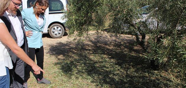 Daños en el olivar de Córdoba, Jaén y Extremadura por lluvias y pedrisco