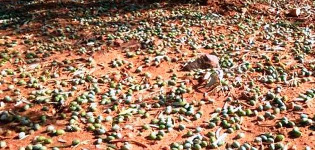 Agroseguro ha recibido declaraciones de siniestro por pedrisco de más de 2.800 hectáreas de olivar a lo largo de 2017