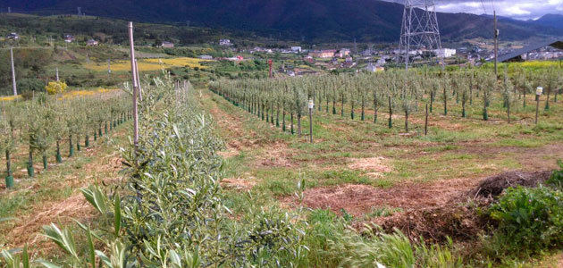 Los productores gallegos de aceite de oliva continuarán consolidando el sector como alternativa para el medio rural