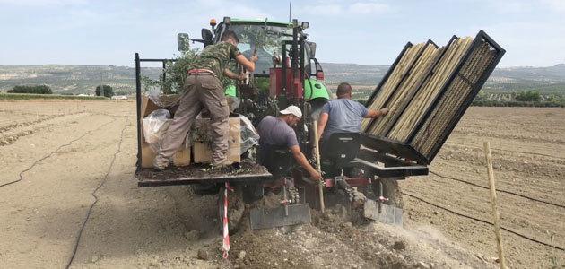 El Grupo Oleícola Jaén realiza una plantación experimental de olivar resistente al Verticillium