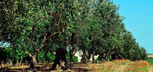 Situación de las plantaciones de olivar en España: últimos datos