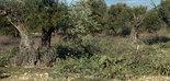 Un proyecto valorizará los residuos de la poda de olivar y de la producción de aceite de oliva
