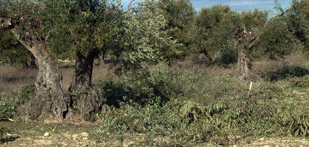 La Fundación Savia presenta un proyecto para llevar la economía circular al olivar