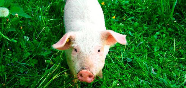 La oleuropeína como antioxidante natural en la alimentación del cerdo blanco
