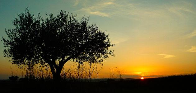 La productividad de los olivares de Portugal desciende un 30% esta campaña