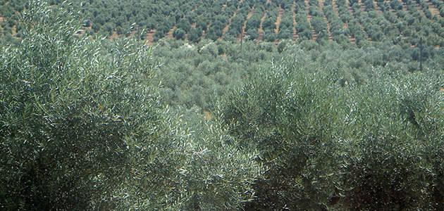 La productividad de los olivares de Portugal disminuirá un 15% esta campaña
