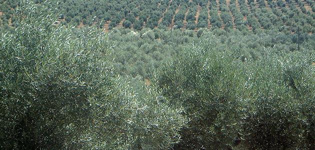 La producción de aceite de oliva en Portugal se reduce un 30% esta campaña
