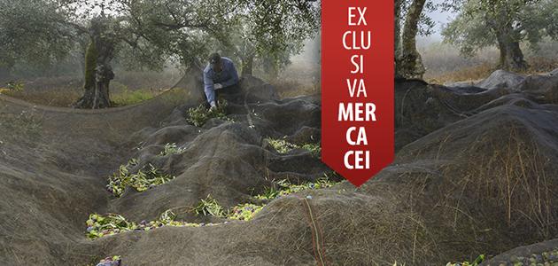 Ecuador de la campaña de comercialización de aceite de oliva: los expertos opinan sobre precios, consumo y previsiones