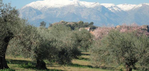 El precio de la tierra de olivar descendió un 3% en 2020