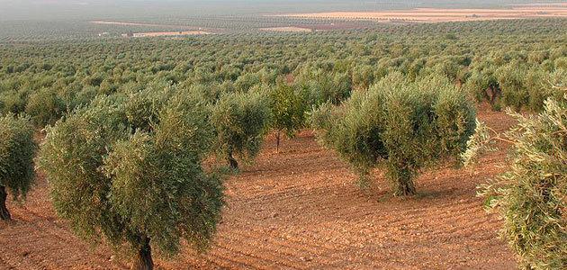 El precio de la tierra de olivar cayó un 4,6% en 2019