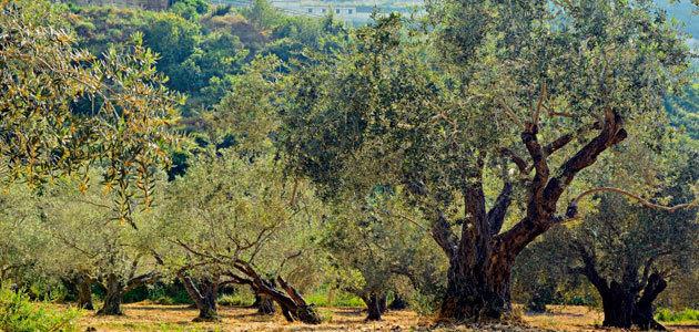 La Universidad de Córdoba prepara sus previsiones para la nueva campaña de olivar