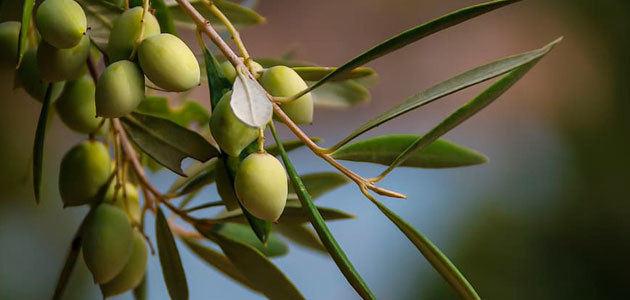La CE prevé que la producción europea de aceite de oliva aumente un 20% en la campaña 2020/21