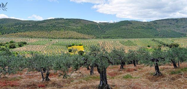 Cooperativas estima una reducción de alrededor del 40% en la producción andaluza de aceite de oliva para la próxima campaña