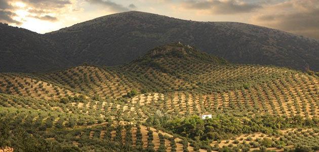 La DOP Priego de Córdoba efectuará el tratamiento aéreo de la mosca del olivo en la comarca