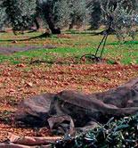 El COI prevé que la producción mundial de aceite de oliva descienda un 26,8% esta campaña