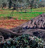 UPA-Andalucía prevé que la producción de aceite se reduzca un 60% en la próxima campaña
