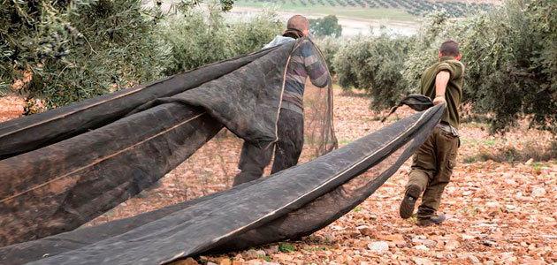 Cooperativas espera una campaña equilibrada de 125.000 t. de aceite de oliva en Castilla-La Mancha
